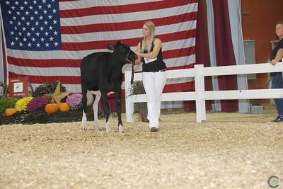 All-American Holstein Heifers 2017