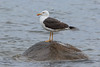 Lesser black-backed gull, Sildemåge, Larus fuscus, Gilleleje, Danmark, Aug-2016