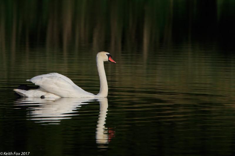 Mute swan, Knopsvane, Cygnus olor, Hillerød, Danmark, Aug-2017