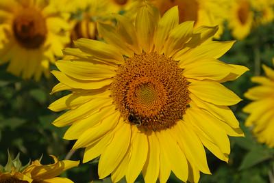 August 20 2017 :: Sunflowers