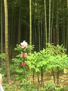 Exploring the extensive Bamboo Grove-Jessica Mathewson