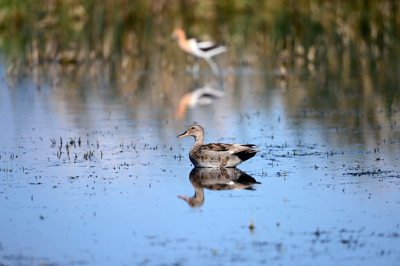 Blue Winged Teal w/Avocet in Background