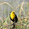 Yellow Headed Blackbird (male)