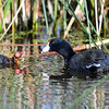 Adult and Baby Coot