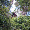 This was our first orangutan in the wild. The large male didn't stay around long.