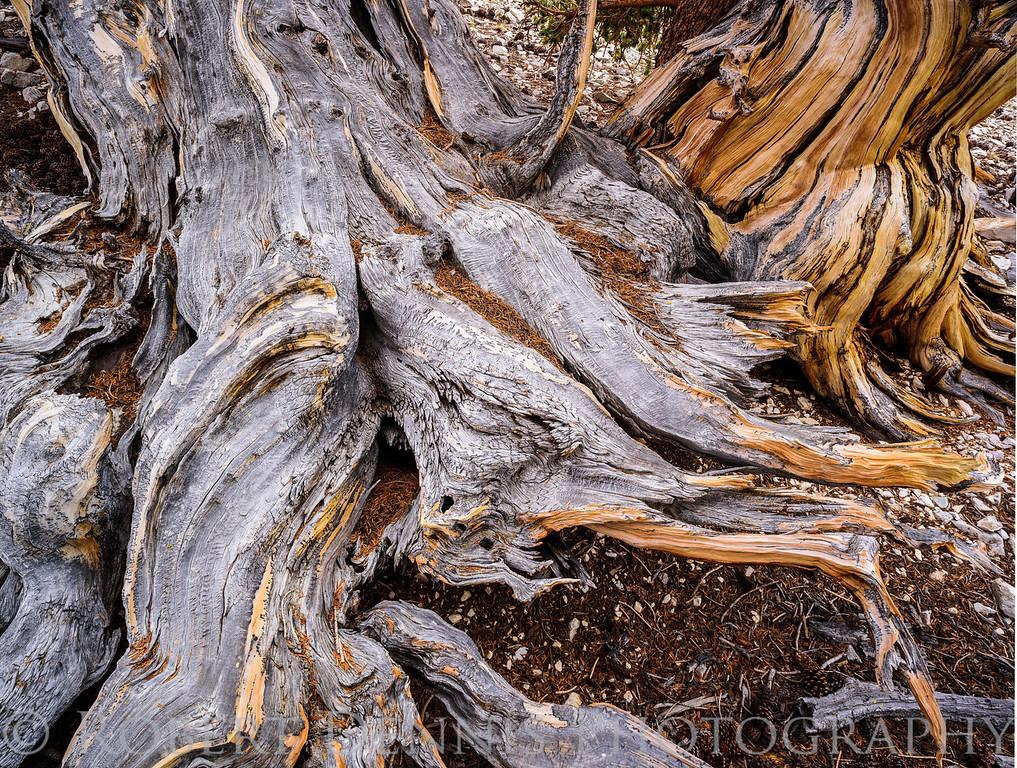 Bristlecone Pine Forest, Patriarch Grove; Still life; detail shots; bristlecone close ups