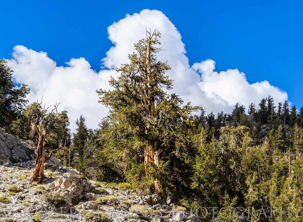 Bristlecone Pine Forest, Patriarch Grove; Schulman Grove, Eastern Sierra Viewpoint; clouds