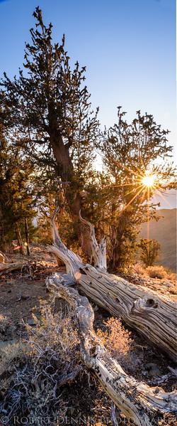 Eastern Sierra, Bristlecone Pine Forest