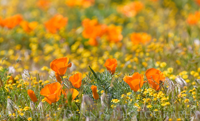 Poppys in the Antelope Valley