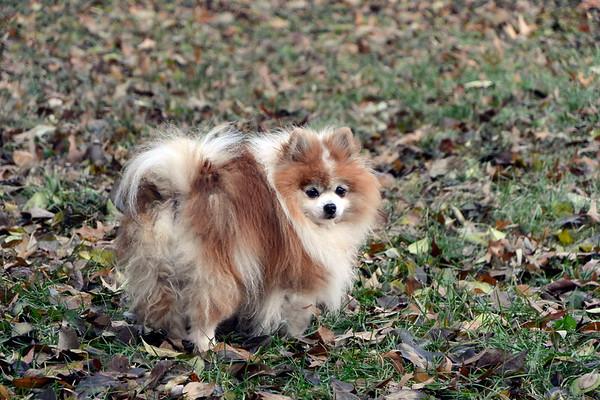 Sami Pomeranian