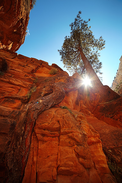 A tall tree reaches its gnarled roots down the bare sandstone to find soil and sustenance in another place.