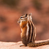A tiny chipmunk scavenges for food among the desert rocks and foliage.