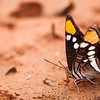 A butterfly tastes the soil near a muddy water hole in Red Rocks, Nevada.