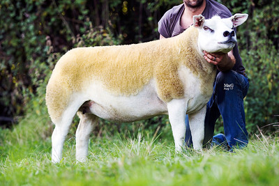 English National Texel Sale, Worcester