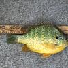 "DOUG'S ONLY WINNING FISH...8 1/2""F PUMPKINSEED"