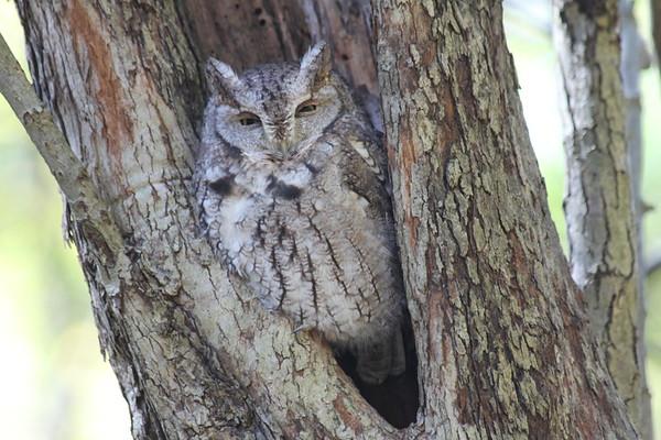 Eastern Screech Owl in Schenley Park