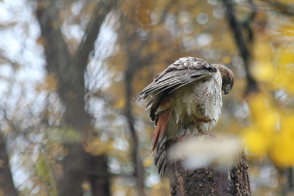 Preening Red Tailed Hawk
