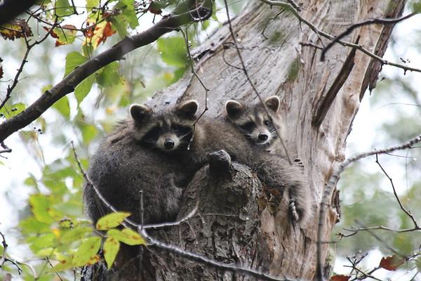 Raccoon Family in Schenley Park