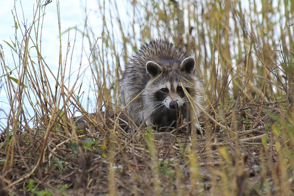 Raccoon on James River