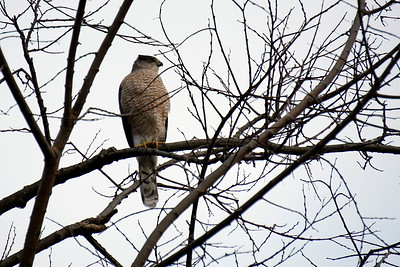 Red Chested Hawk