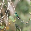 Green (or Lesser) Violetear, San Isidro