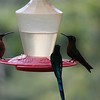 Unknown Hummingbird, Long-tailed Sylph, and Bronzy Inca