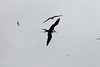 Frigatebirds in flight over Darwin Bay, Genovesa
