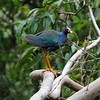 Second time I've seen a Purple Gallinule