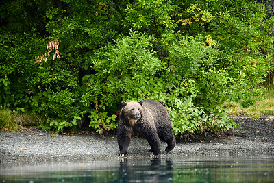 Grizzlies of the Chilko