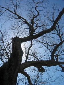 Looking up at the Meadow Oak in 2004, post-Loop.
