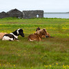 Our first sight of the famous Icelandic horses.