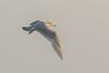 Gråmåge, Glaucous gull, Larus hyperboreus, Gilleleje, Danmark, Jan-2017