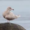 Iceland gull, Larus glaucoides, Gilleleje, Danmark, Jan-2017
