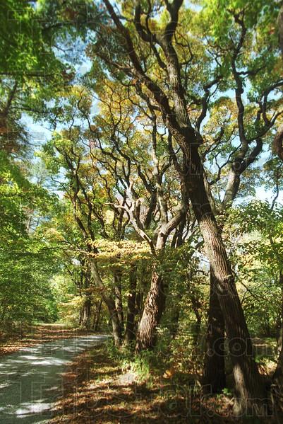 MET 10/12/00 FALL  SASSAFRAS TREES