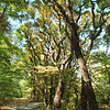 MET 10/12/00 FALL  SASSAFRAS TREES