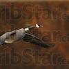 met12.10.01 geese at dobbs