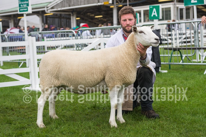 Overall Champion First Prize Aged Ewe