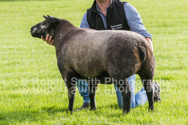 lot 2587 Gimmer Blue Texel Champion sold for 1500 gns