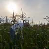 MET 072117 Corn Picking