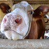 MET 063017 Hayhurst Cow