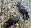 Eurasian Jackdaw; Allike, Corvus monedula, Gl. Holte, Danmark, June-2017