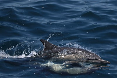 Common Dolphins mate year round. The male is always belly up, while the female swims upright.