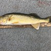 "SORRY ...TOM OTTER BAGGED A 20"" WALLEYE"