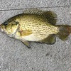 ROCK BASS, NOT QUITE UP TO $ STANDARDS