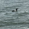 VISITOR TO OUR BOAT...LOON