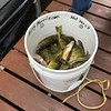 "AN AFTERNOON OF PERCH FISHING...ALL 9"" OR LONGER"