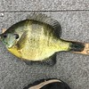 NICE BLUEGILL, BUT NOT A MONEY-WINNER