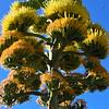 Agave-bloom2