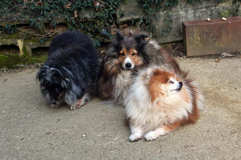 Alex and Peggy Shelties and Sami Pomeranian