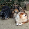 Alex and Peggy Shelties and Sami Pomeranian